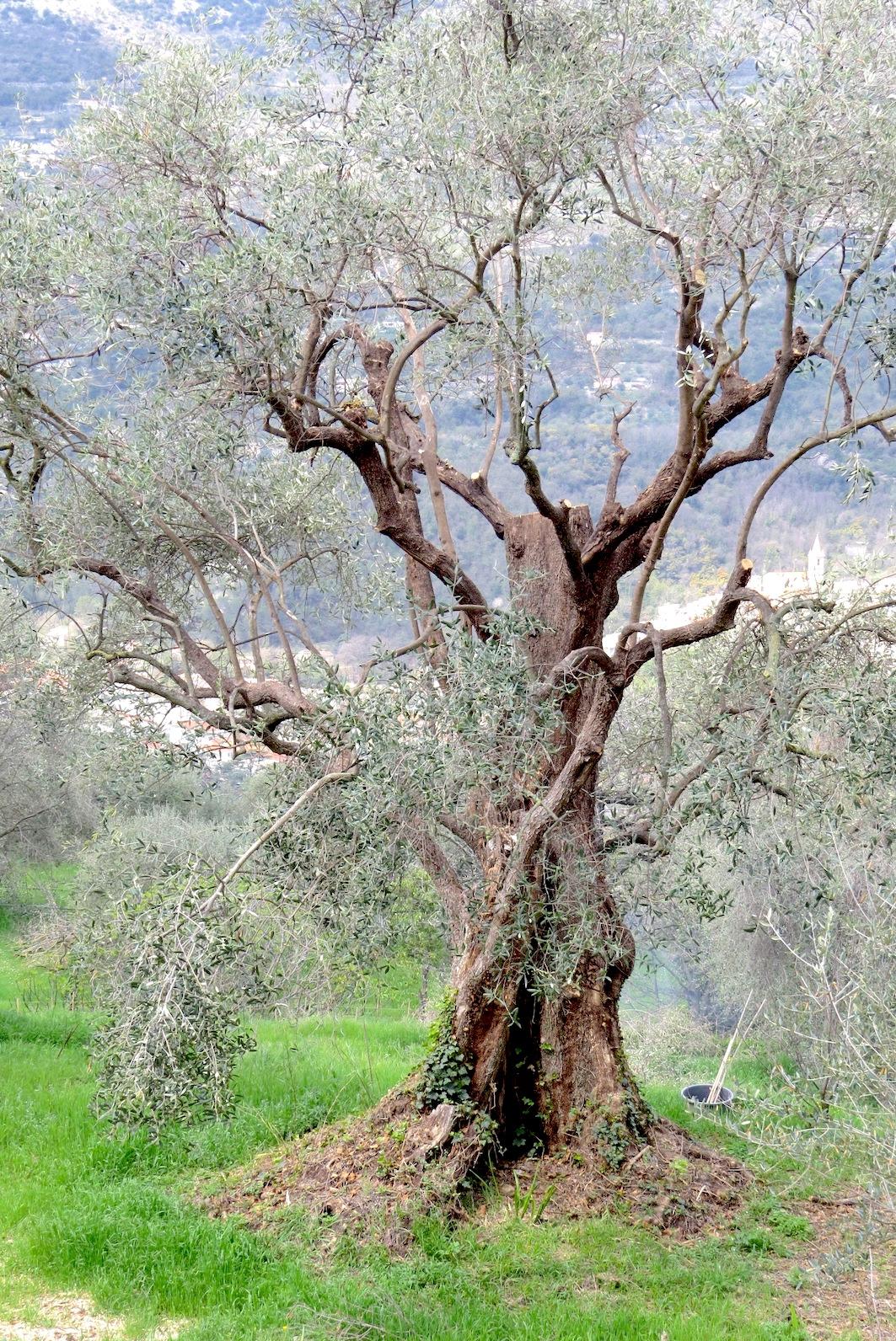 acheter olives