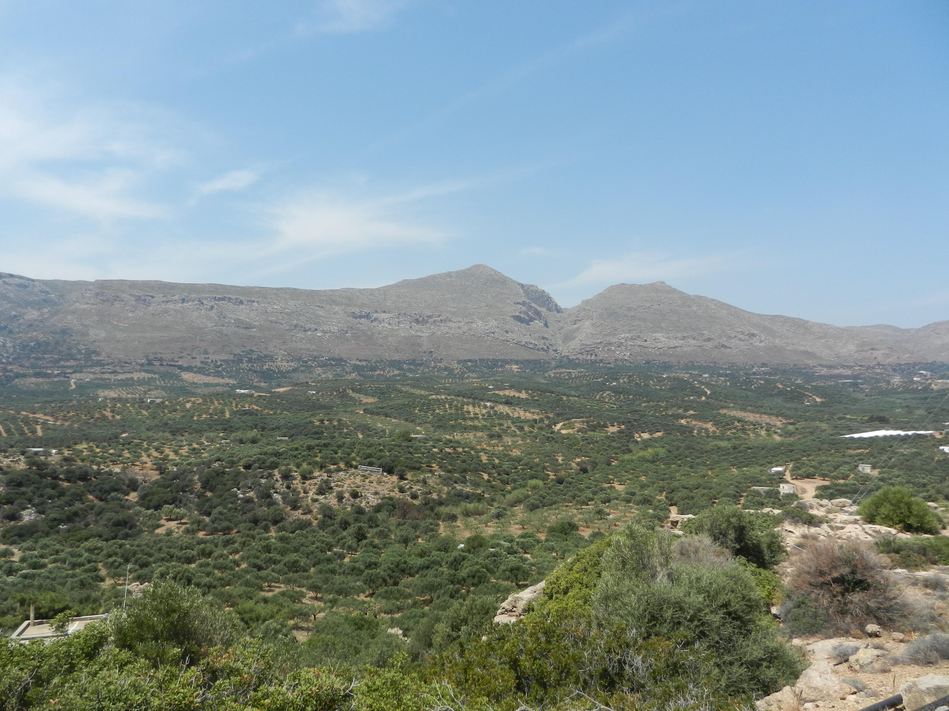 olive tree crete