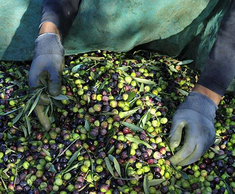 Mains gantées triant les olives